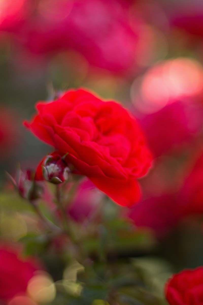 stock photos free  of blossom red flower geranium