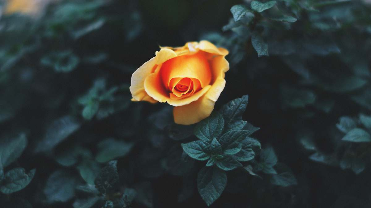 stock photos free  of plant yellow flower plant rose