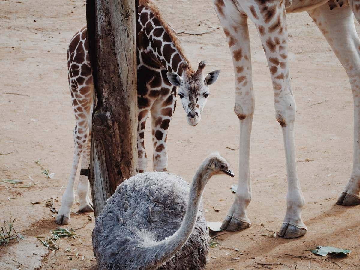 stock photos free  of wildlife baby giraffe looking at the ostrich giraffe