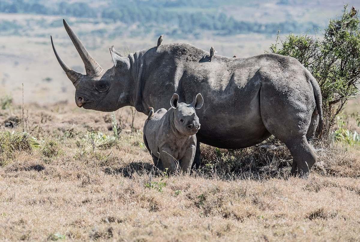 stock photos free  of rhino gray rhinoceros parent and offspring on field wildlife
