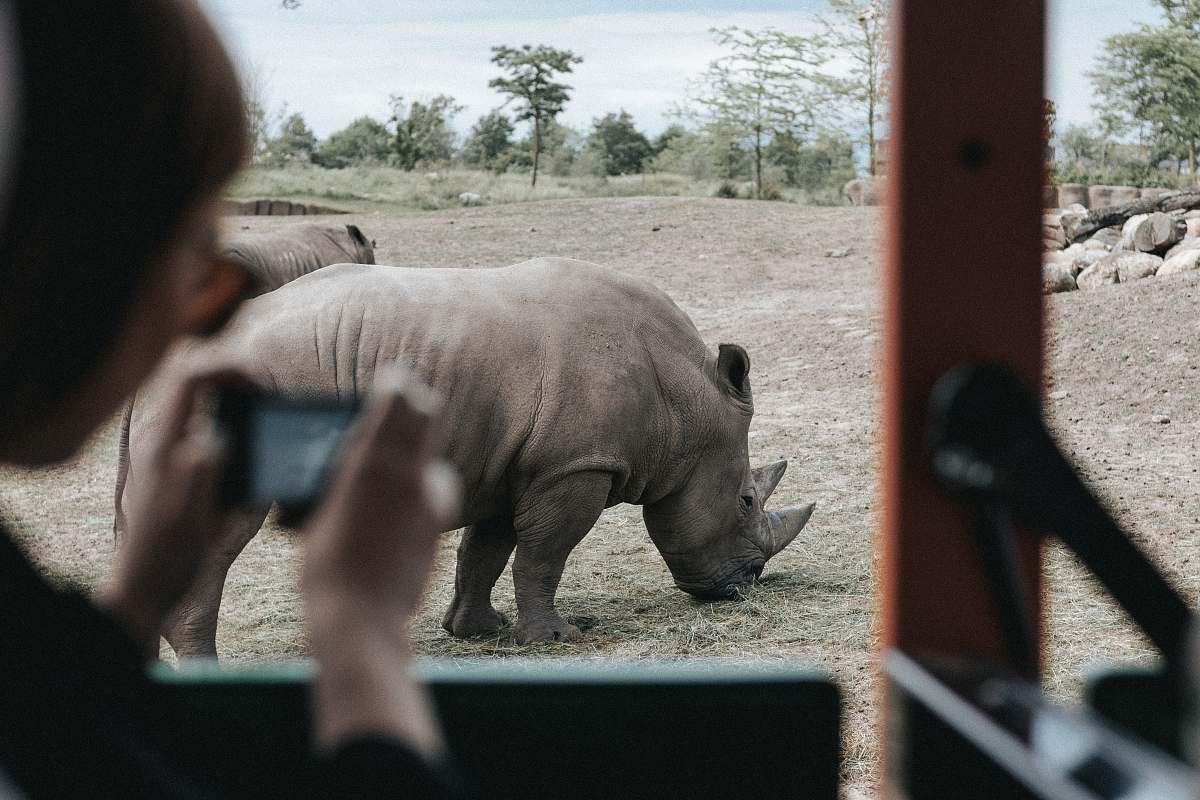 stock photos free  of human person inside vehicle capturing grey rhinoceros on ground during daytime wildlife