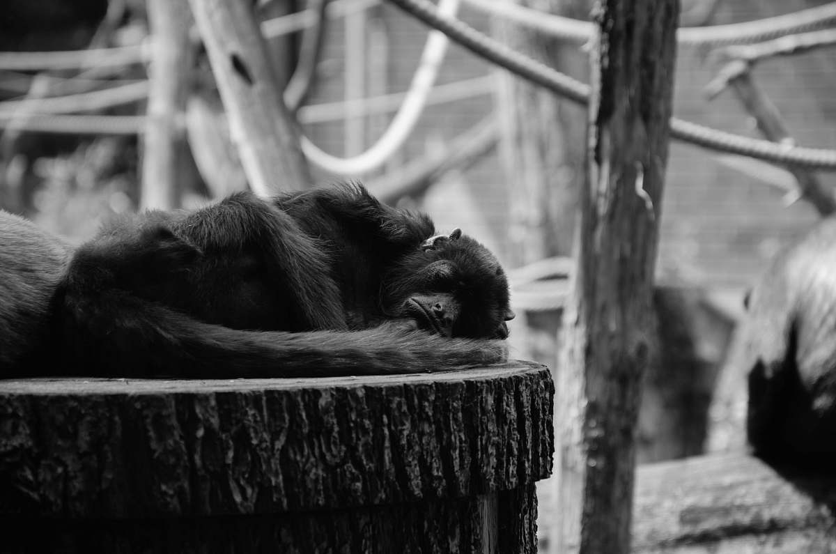 stock photos free  of monkey grayscale photography of monkey tierpark berlin