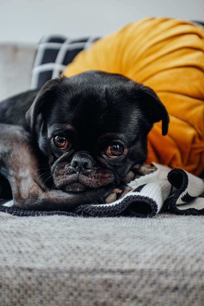 stock photos free  of canine short-coated black puppy dog