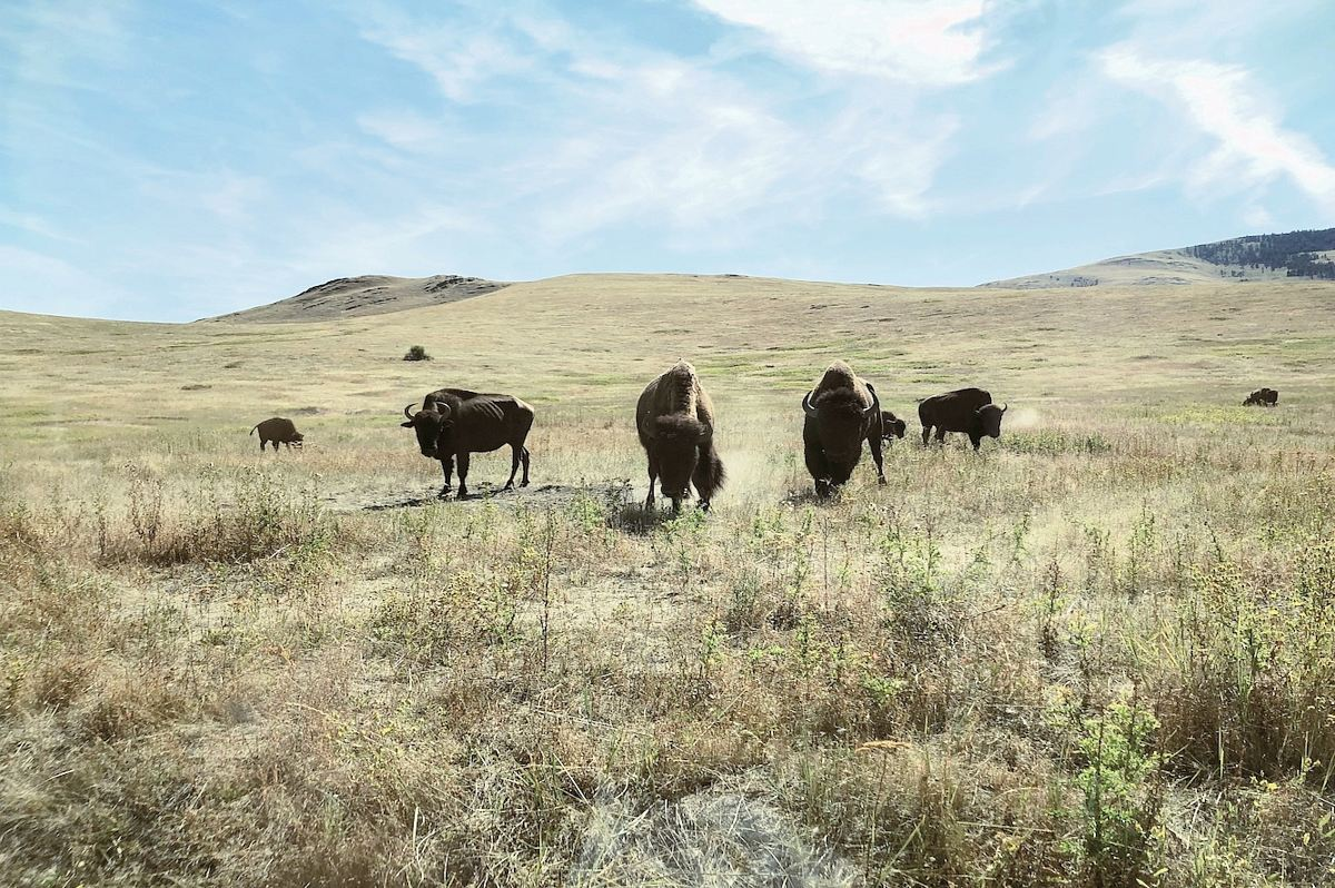 stock photos free  of black bull on green grass