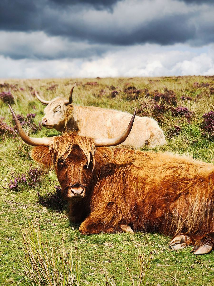stock photos free  of brown yak lying on grass field