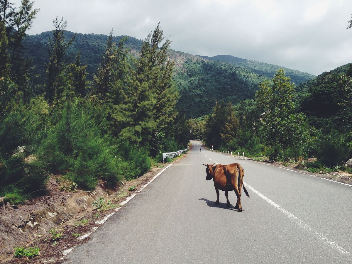 stock photos free  of cow walking in the middle of road between trees leading to mountain