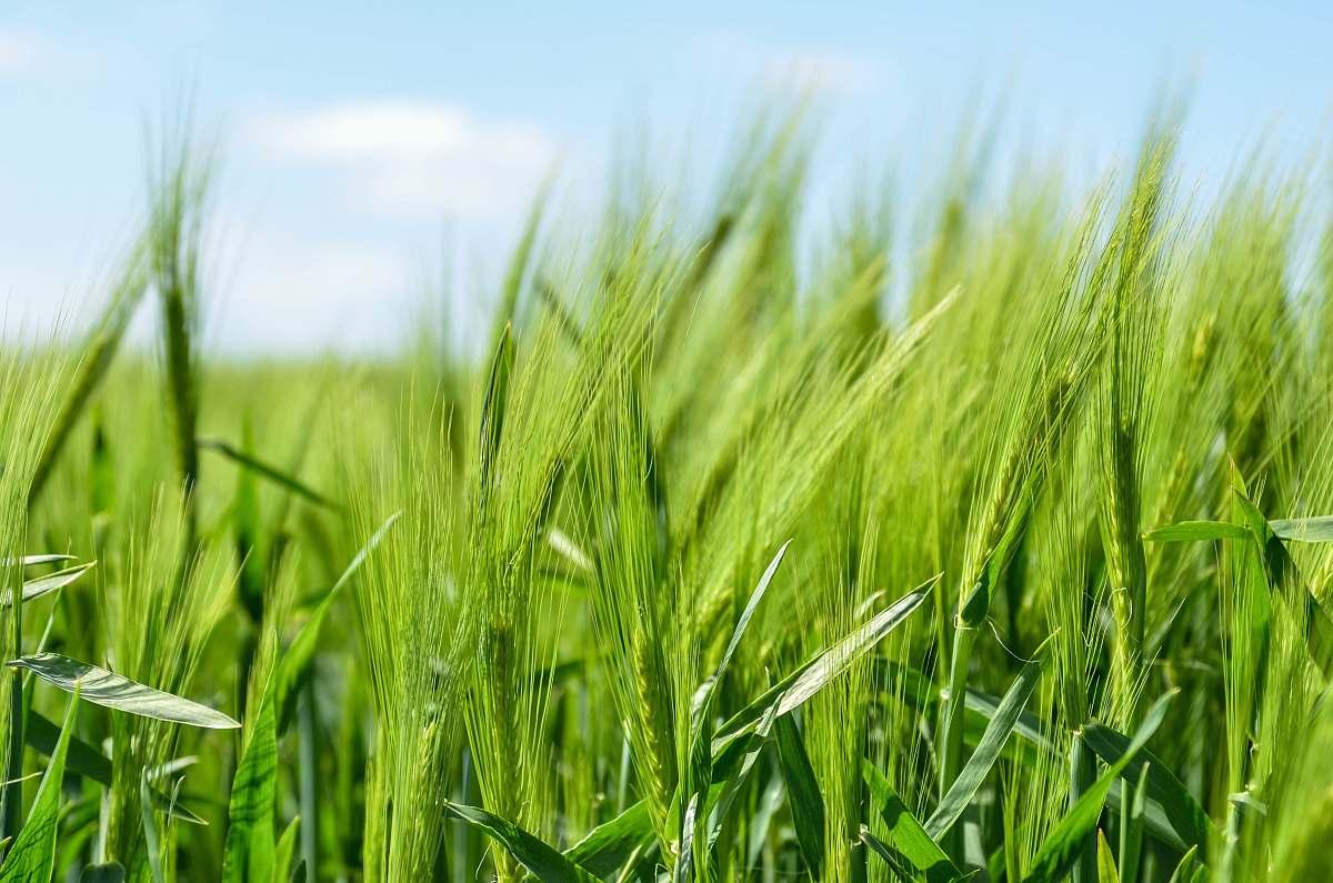 stock photos free  of grass green grass field wheat
