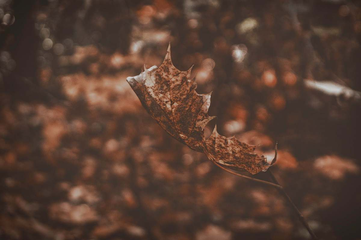 stock photos free  of brown closeup photograph brown dried leaf single leaf