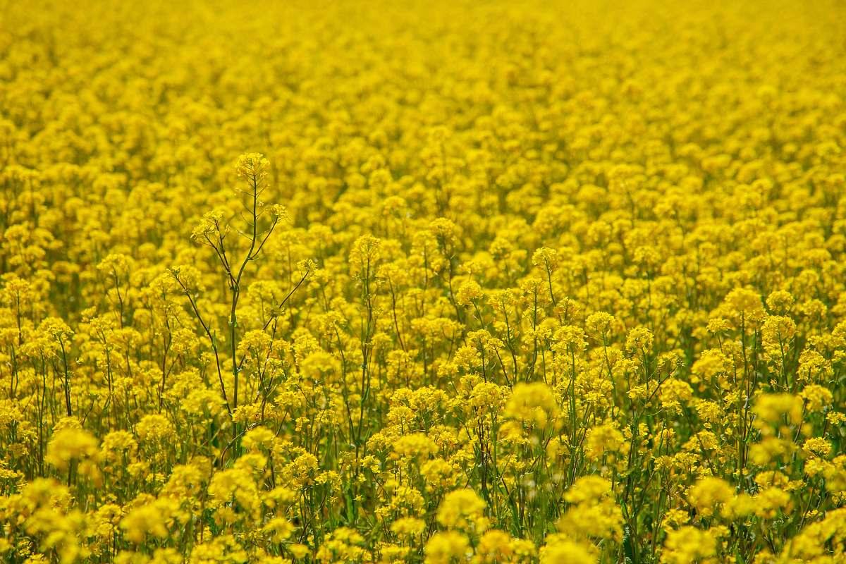 stock photos free  of field yellow petaled flower field grassland
