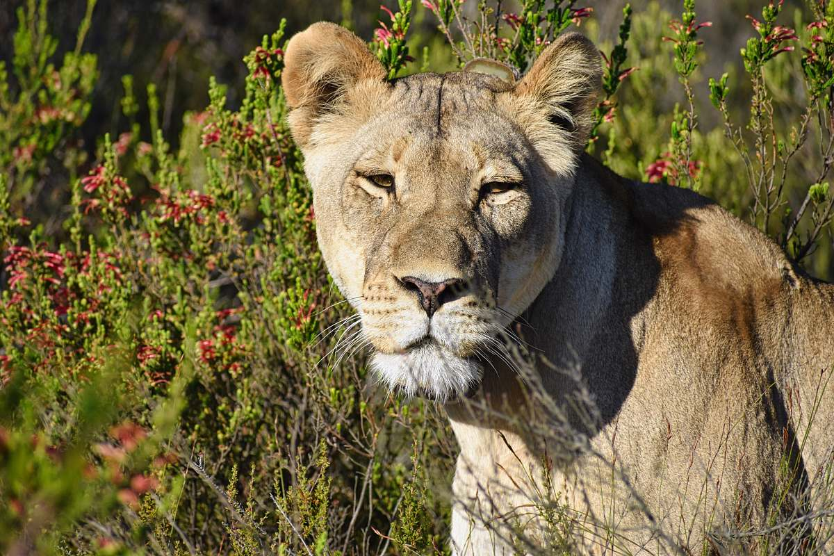 stock photos free  of mammal brown lioness in close-up photography lion