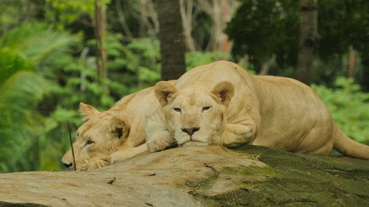 stock photos free  of mammal two lioness lying on rock lion