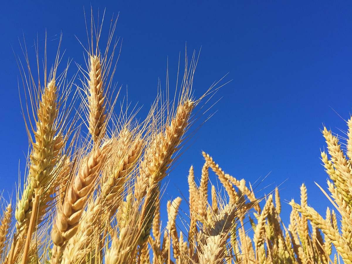 stock photos free  of field closeup photography of brown wheats grain