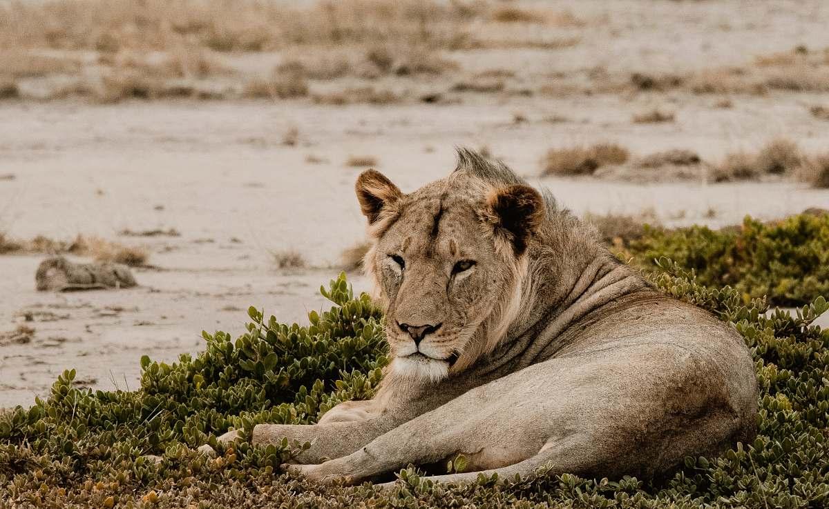 stock photos free  of mammal Lion lying on grass wildlife
