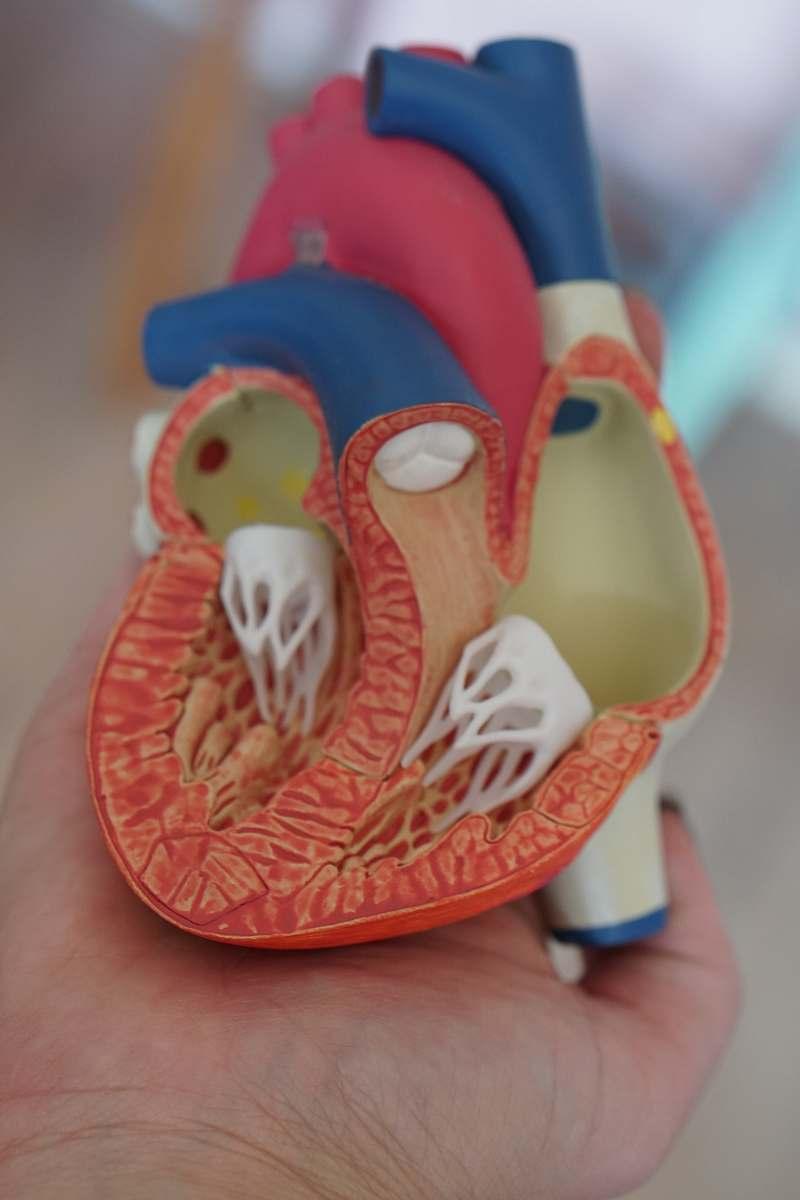 stock photos free  of apparel human heart anatomy learning tool heart