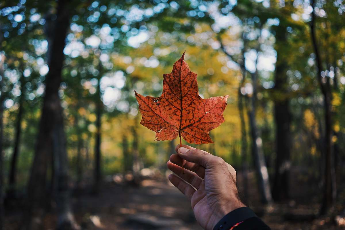 stock photos free  of nature person holding maple leaf flora
