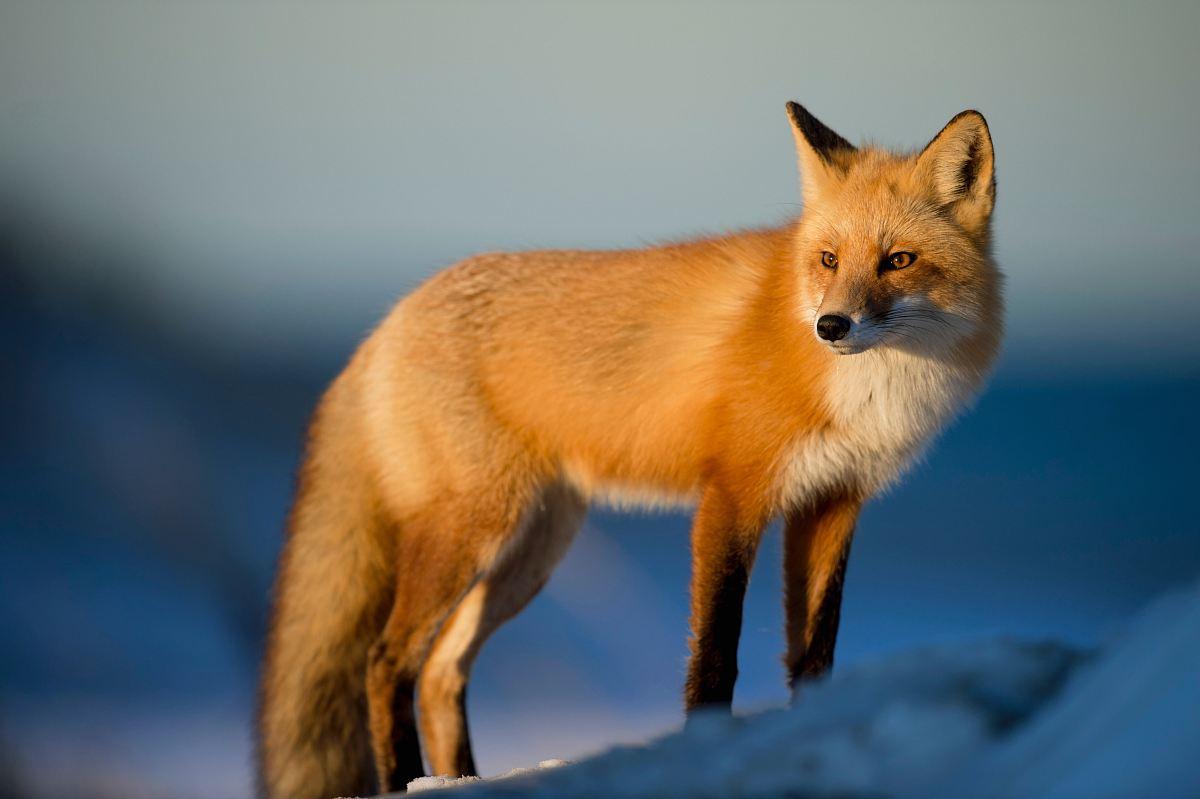 stock photos free  of brown fox on snow field