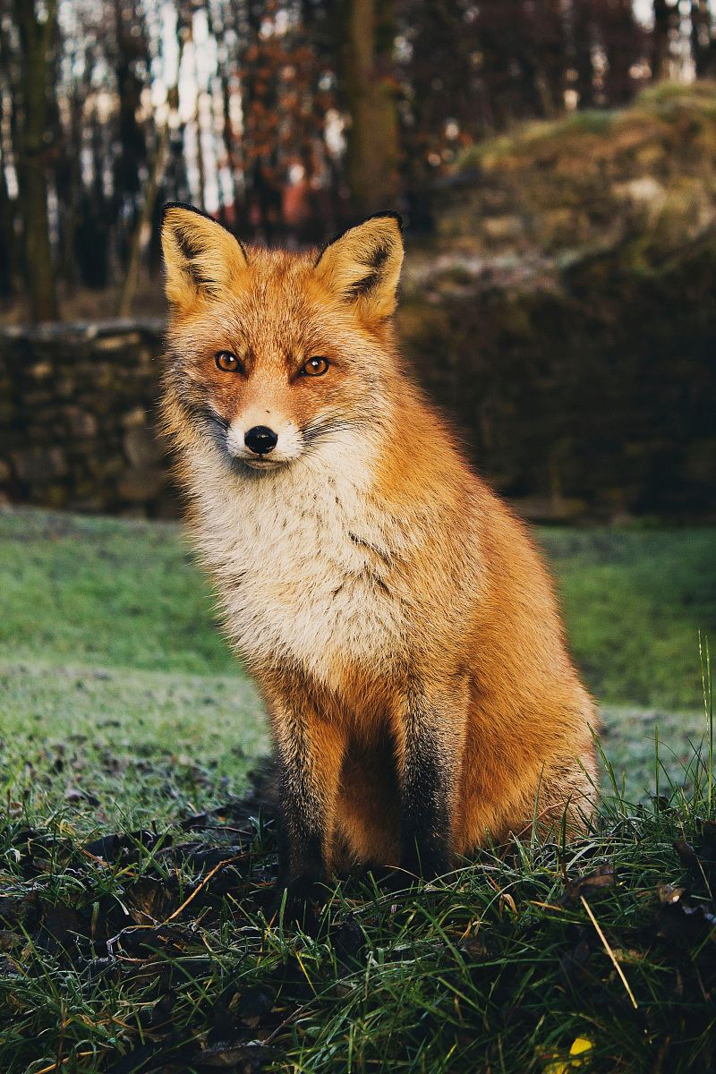 stock photos free  of brown fox sitting on green grass field during daytime