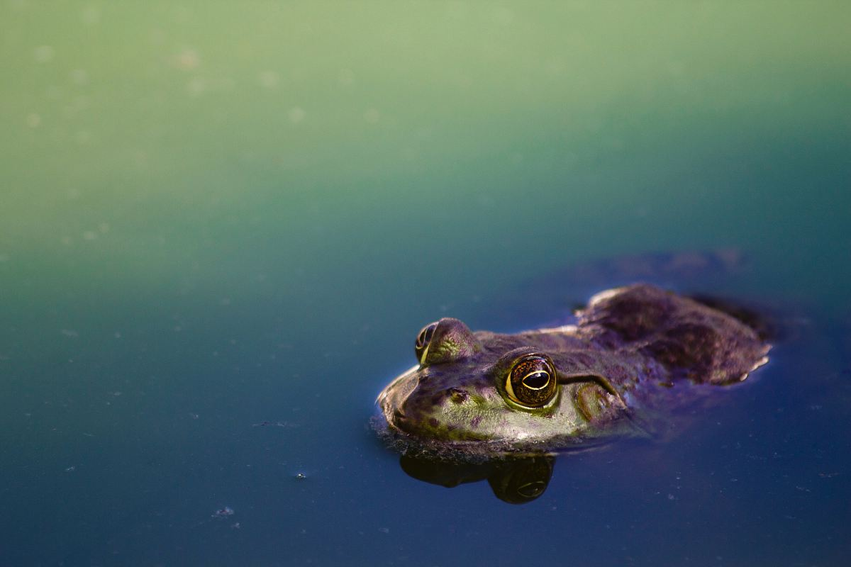 stock photos free  of brown frog on river
