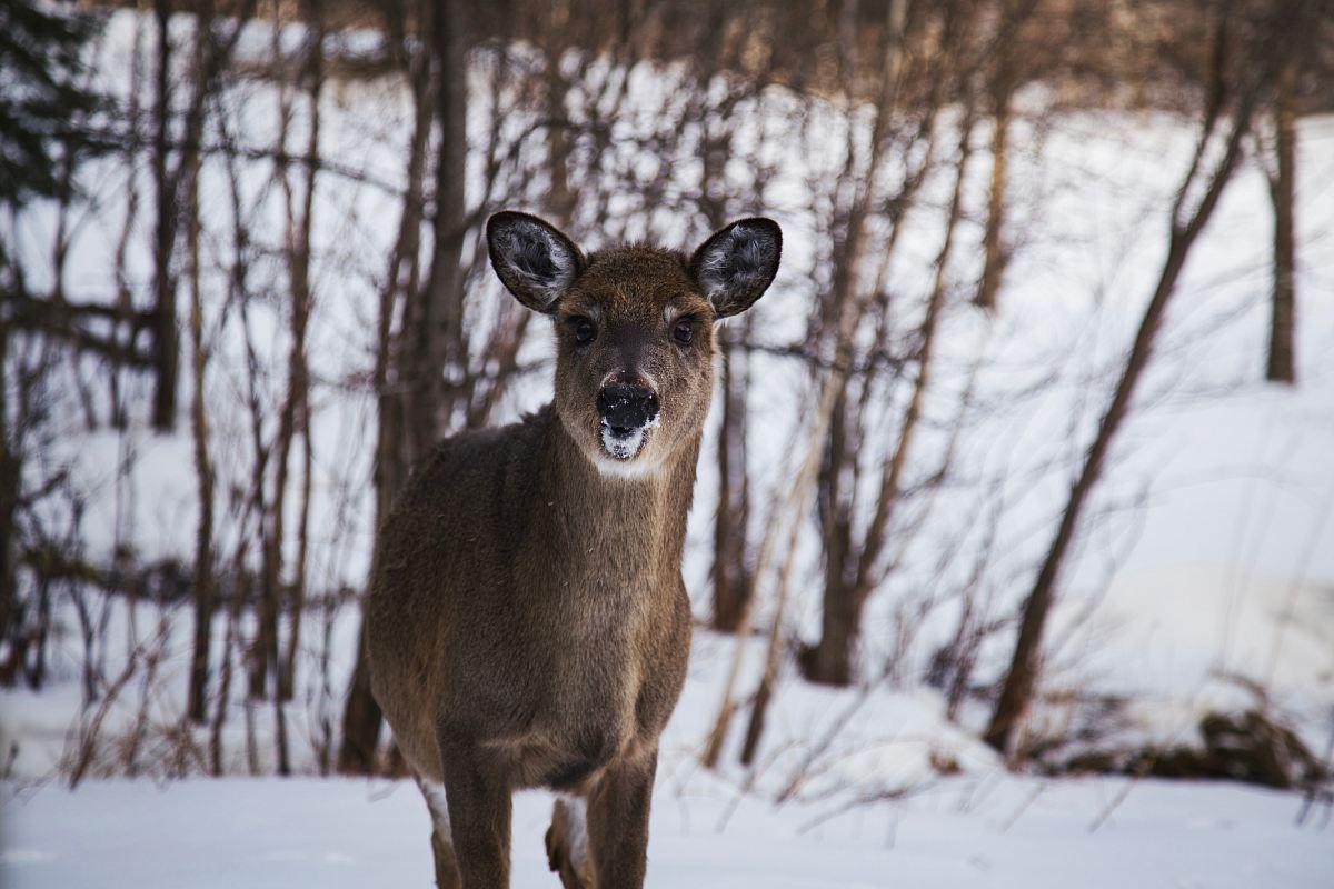 stock photos free  of brown reindeer
