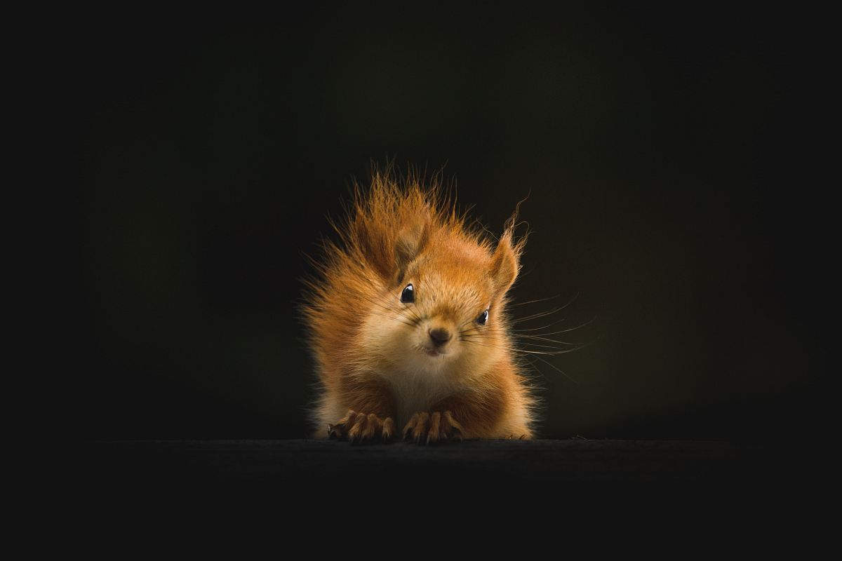 stock photos free  of brown squirrel on black background