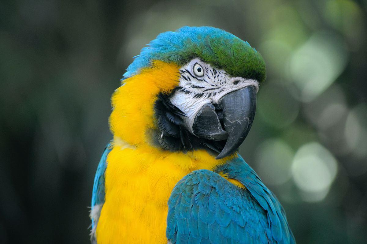 stock photos free  of closeup of yellow and teal parrot