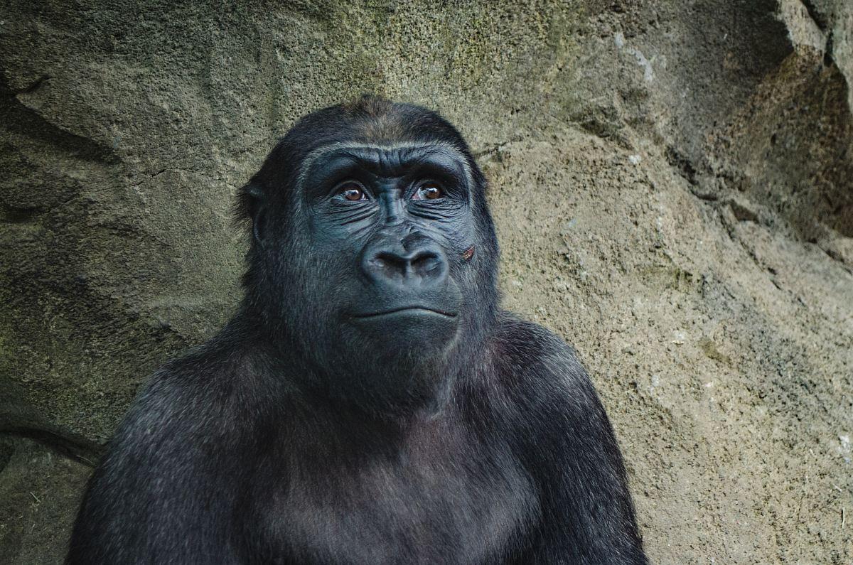 stock photos free  of closeup photo of black gorilla