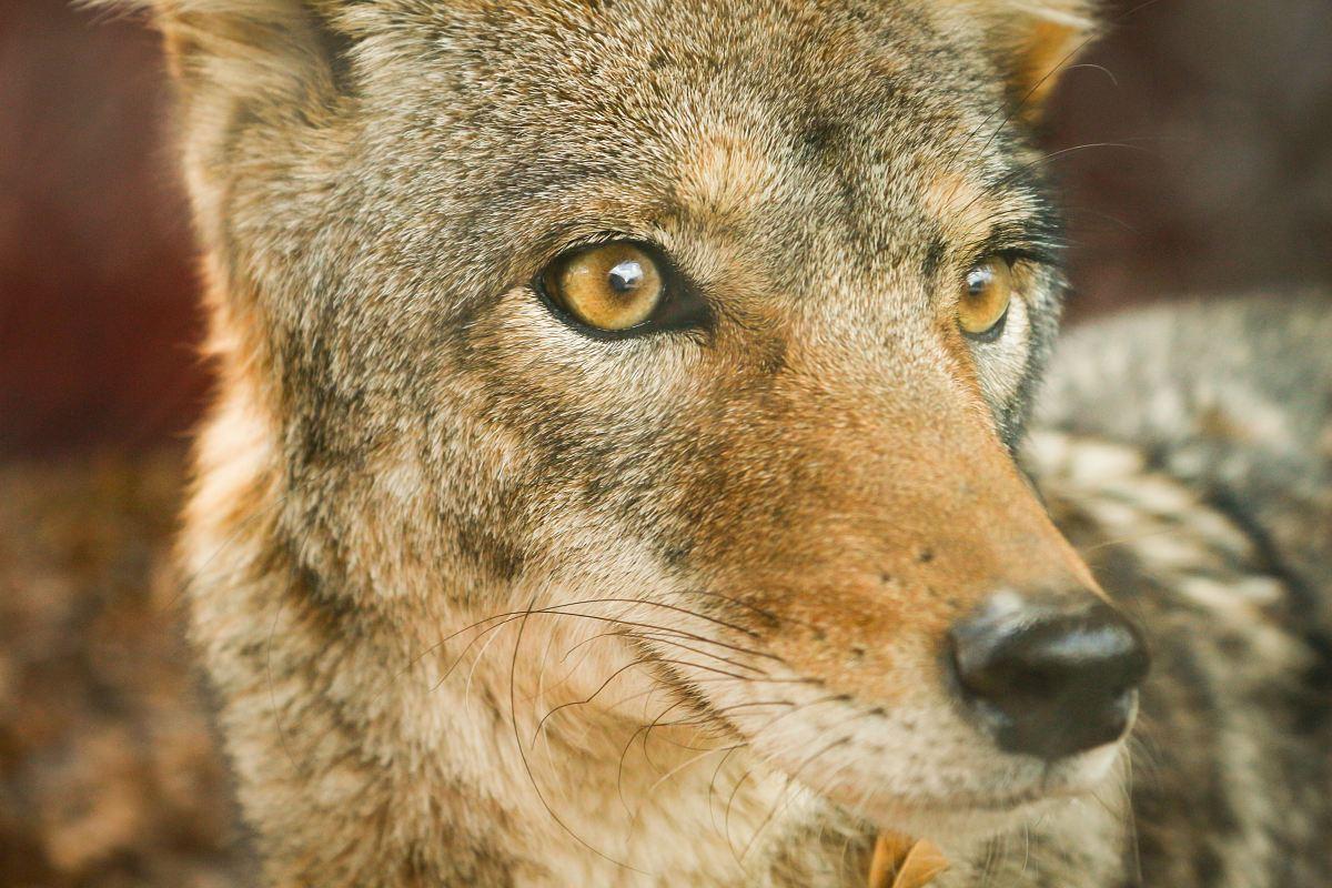 stock photos free  of closeup photo of jackal