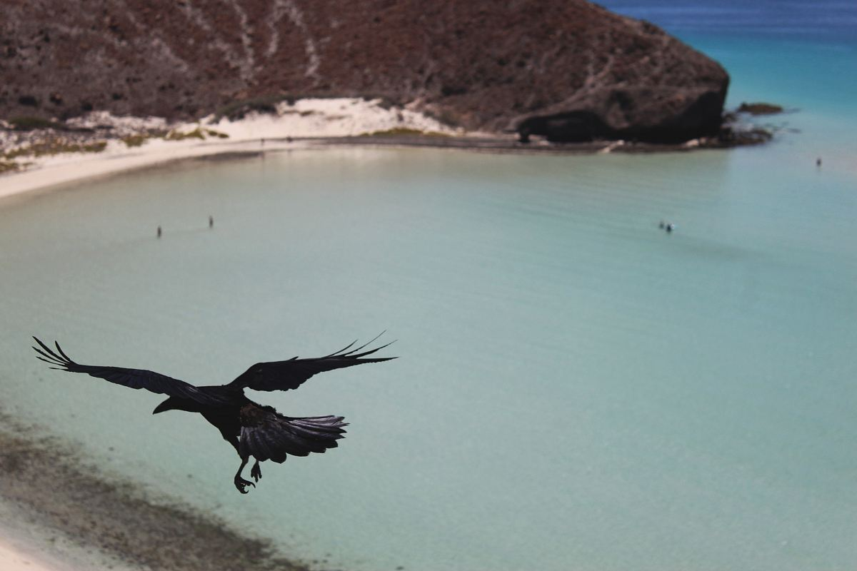 stock photos free  of flying crow