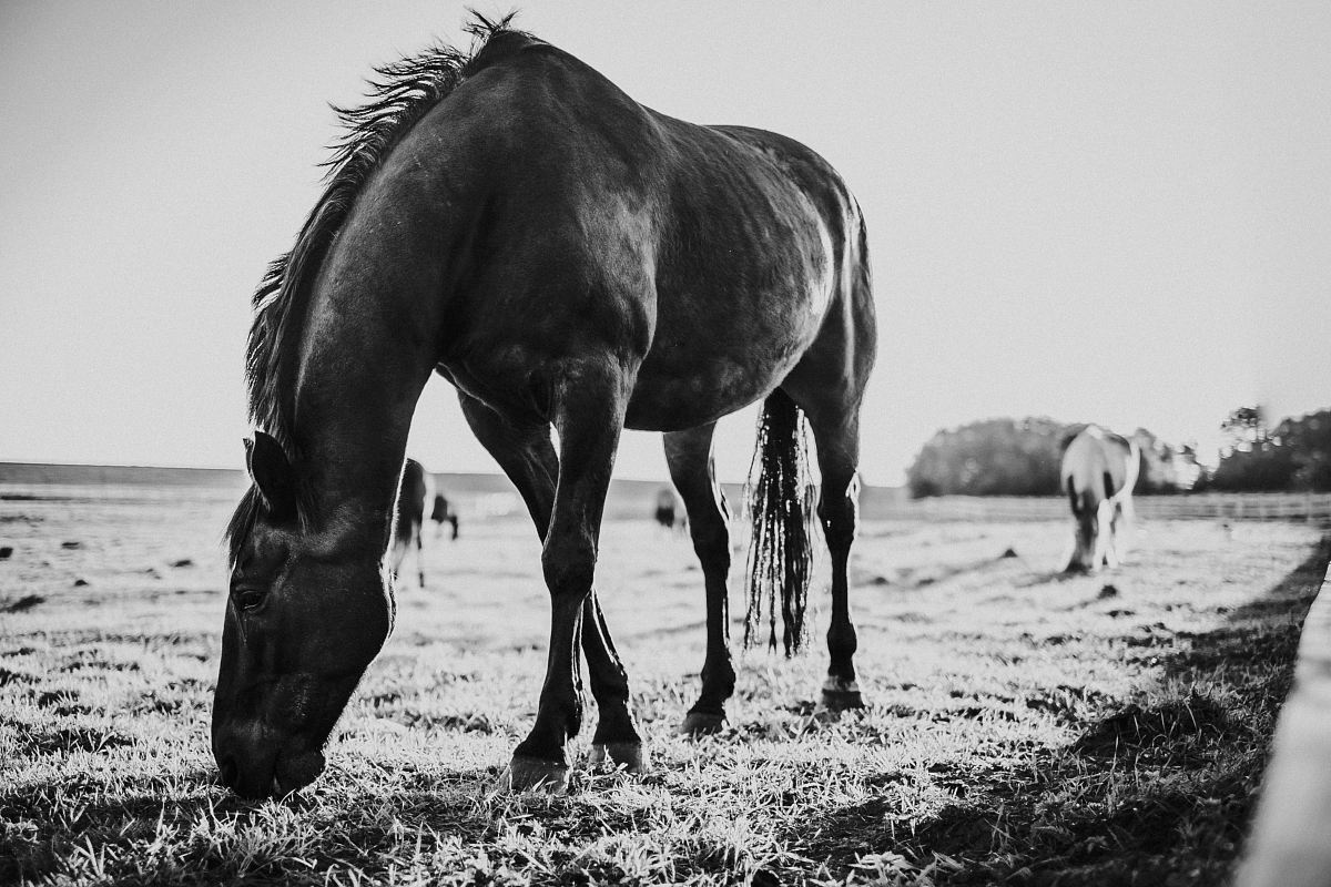 stock photos free  of grayscale photo of horse eating grass