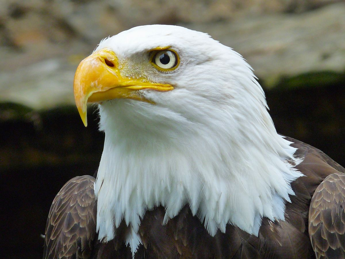 stock photos free  of hawk