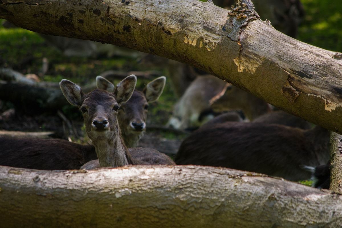 stock photos free  of herd of deer under tree log