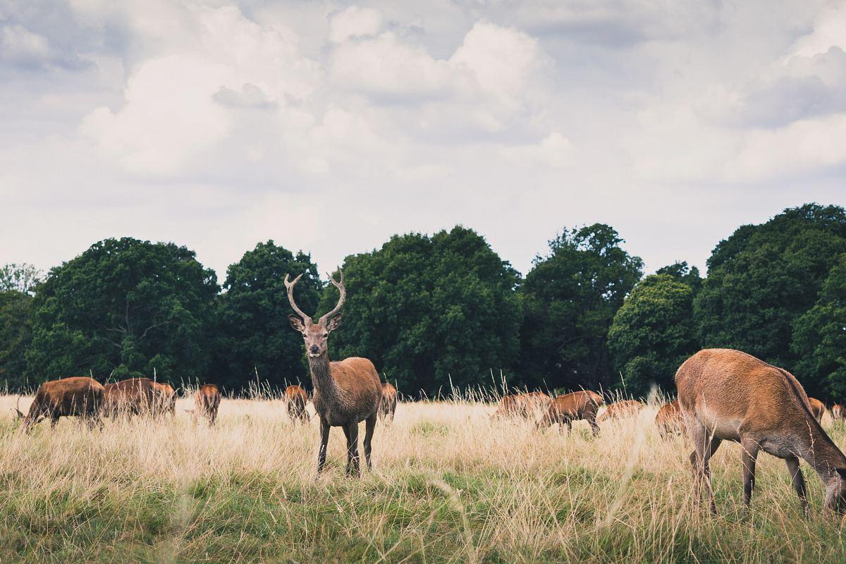 stock photos free  of herd of deer