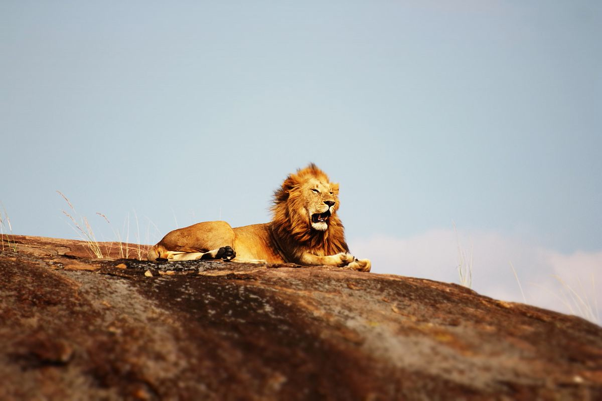 stock photos free  of lion on ground during daytime