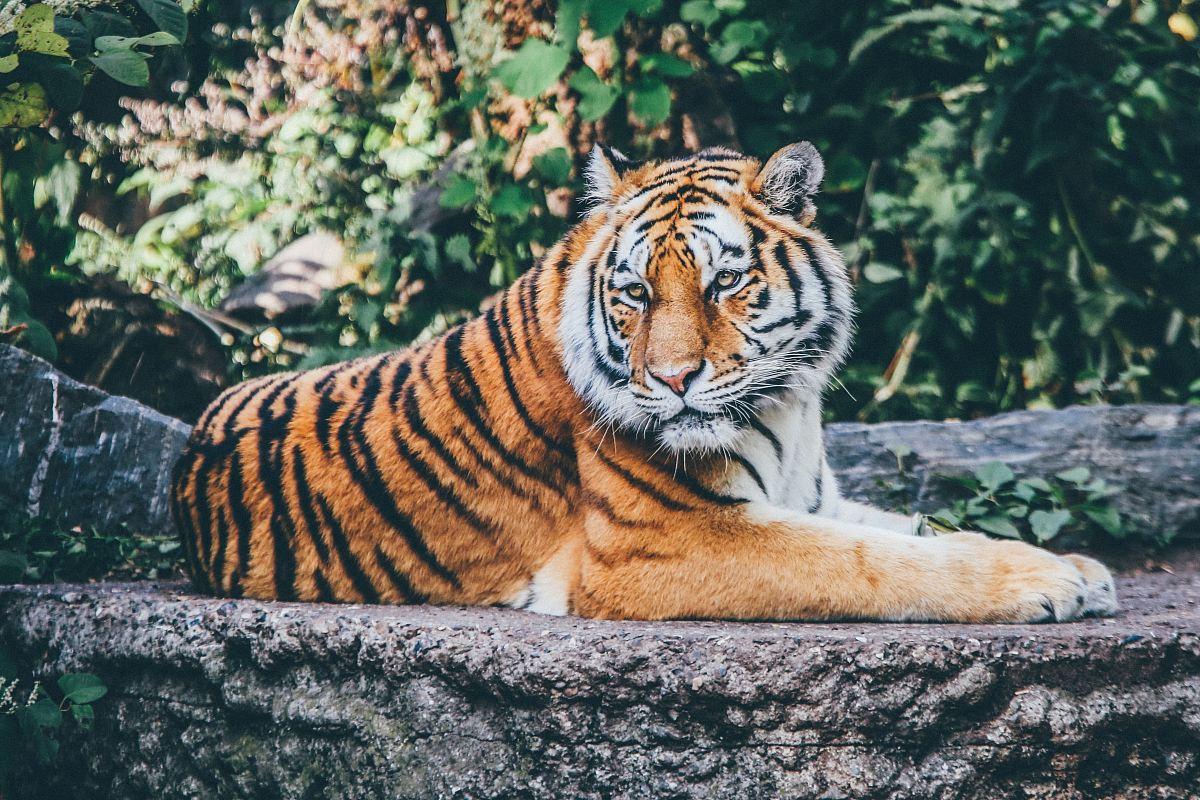 stock photos free  of orange tiger on grey concrete flooring