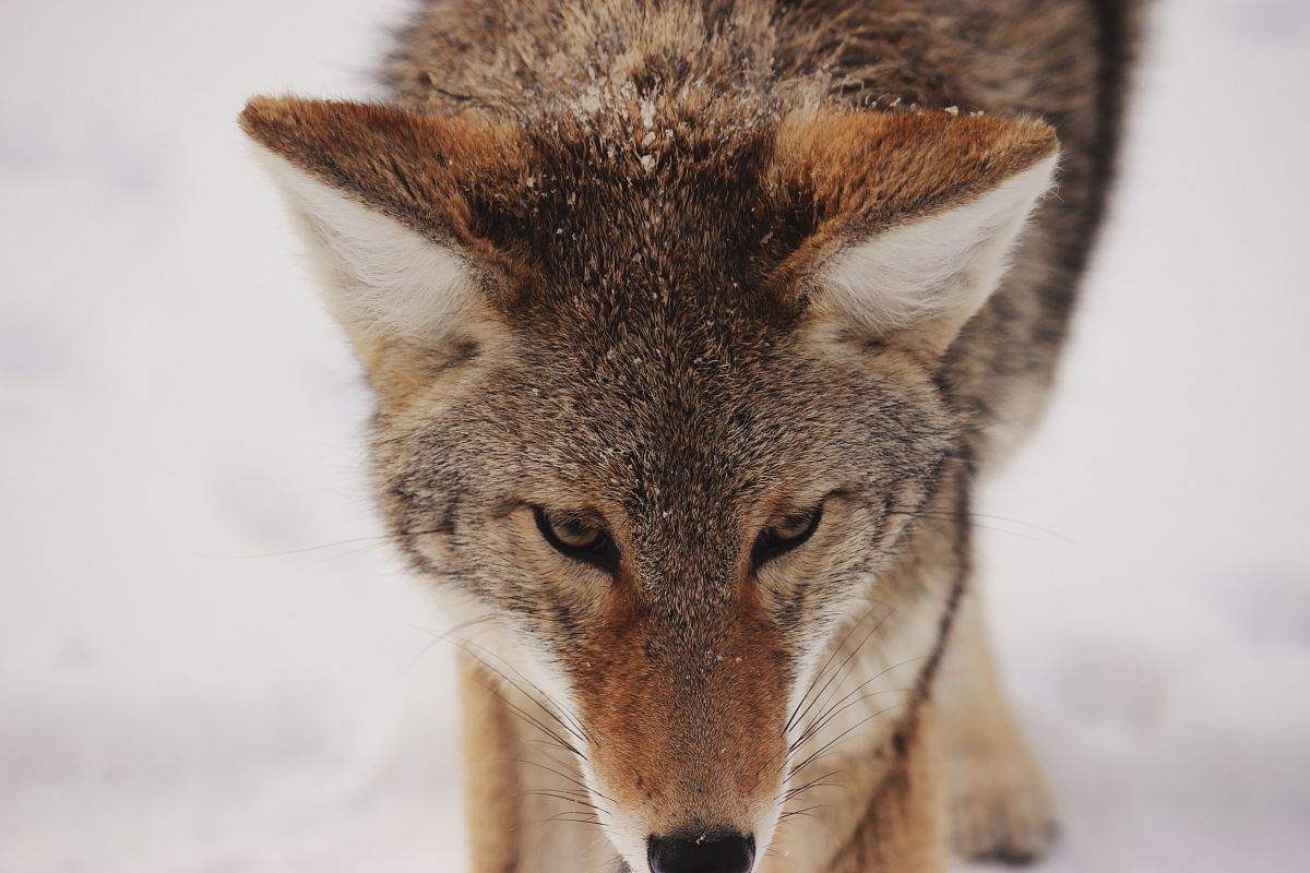stock photos free  of photo of brown wolf