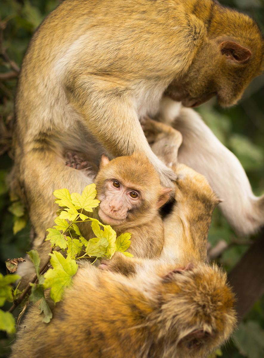 stock photos free  of several monkeys on tree during day