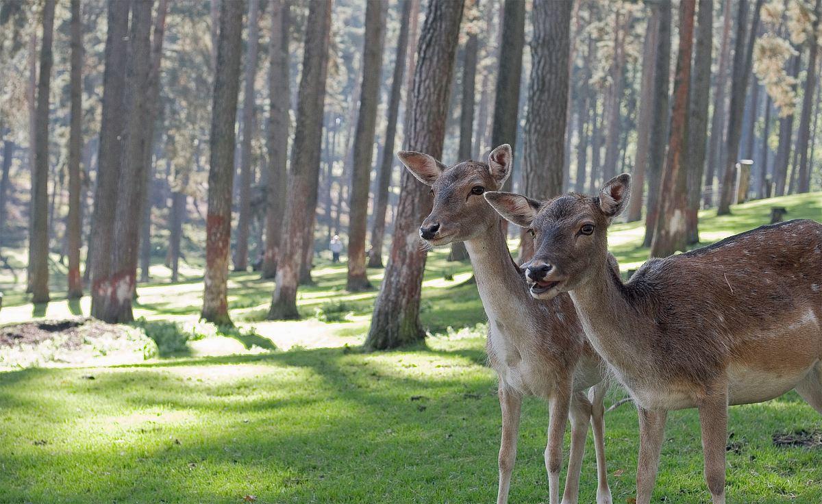 stock photos free  of two brown deers in woods