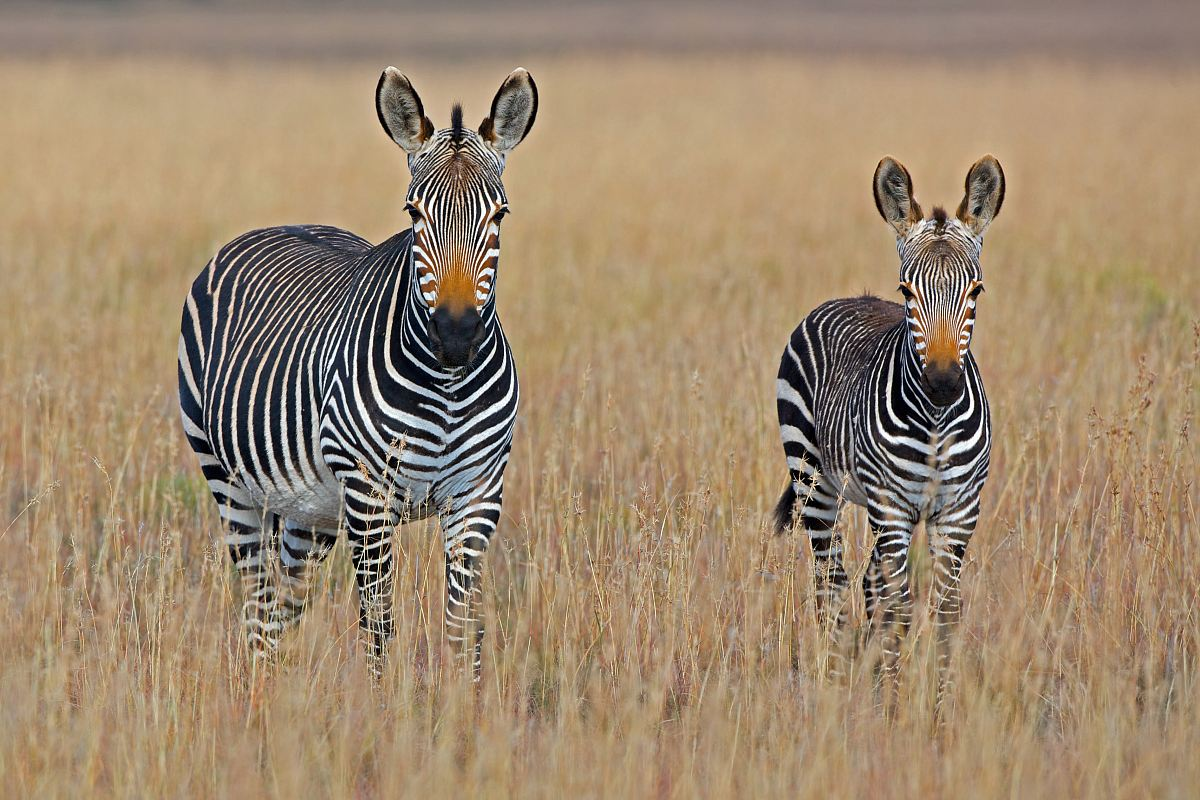 stock photos free  of two zebra standing on brown grass field