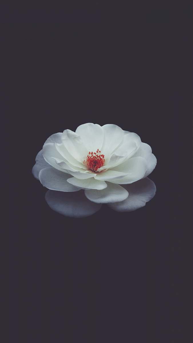 stock photos free  of flower shallow focus photography of white petaled flower in water petal