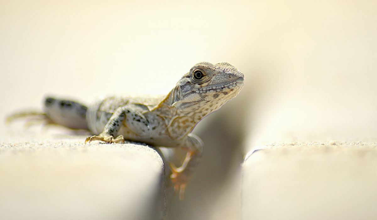 stock photos free  of closeup photography of brown and white lizard