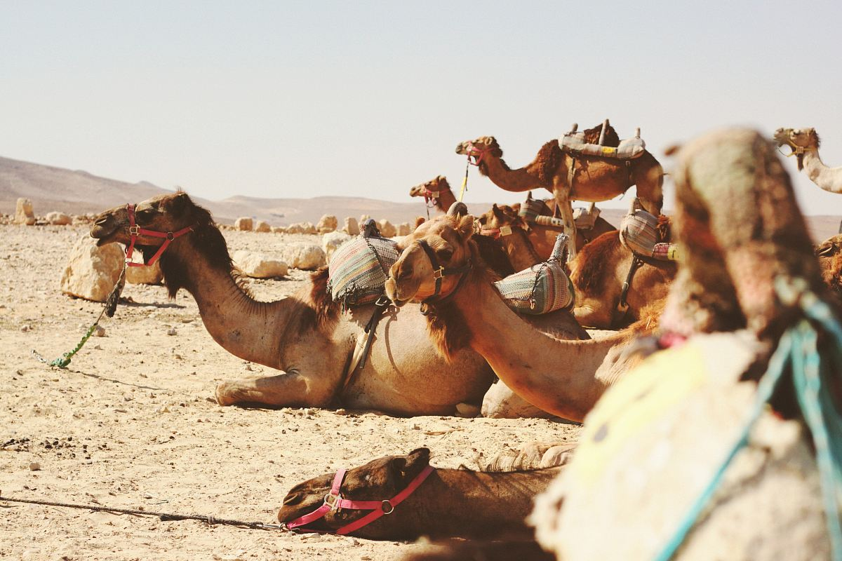 stock photos free  of five camels on field