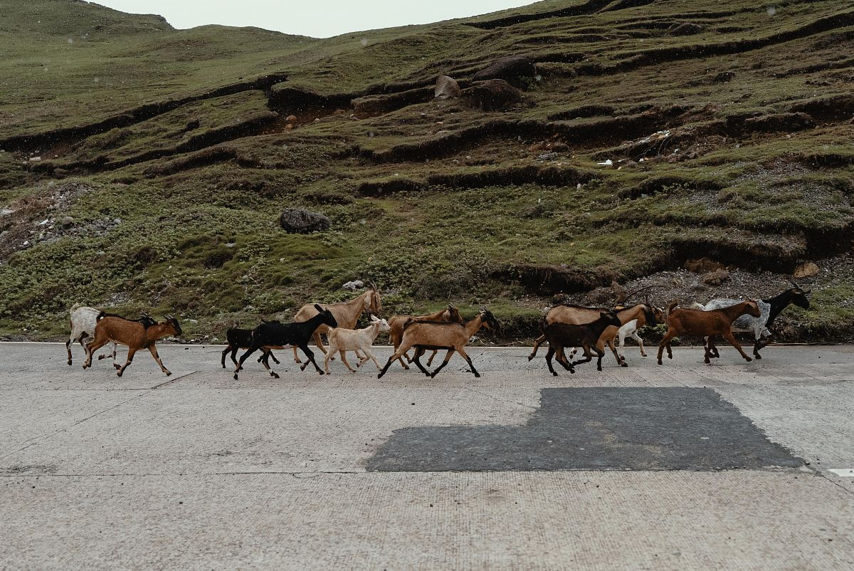 stock photos free  of herd of goats on road