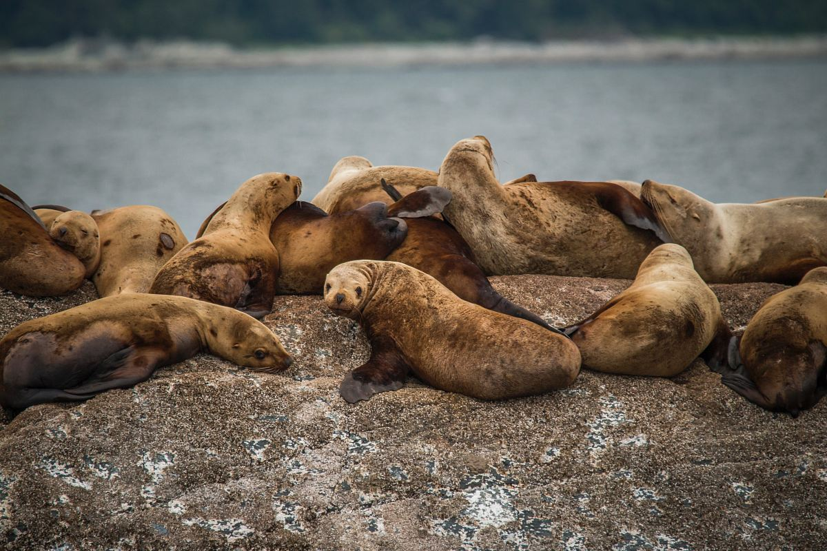 stock photos free  of herd of seals