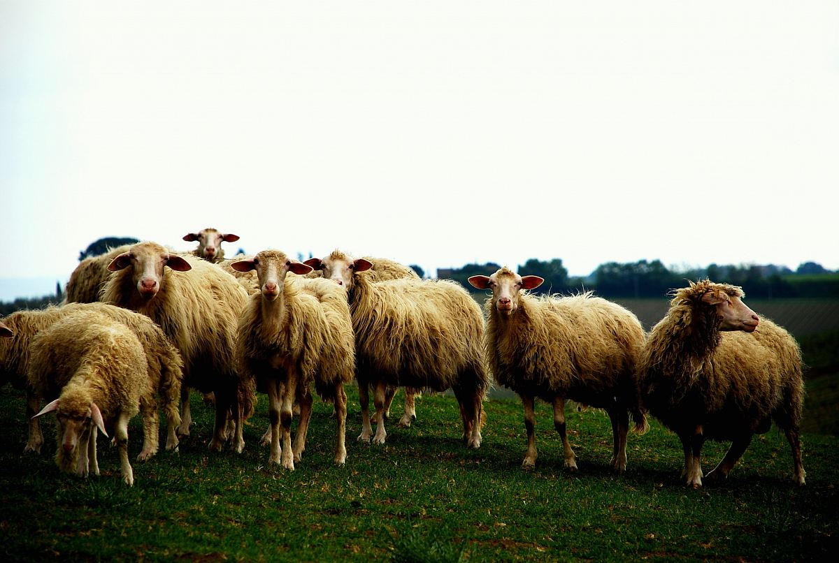 stock photos free  of herd of sheep on grassfield