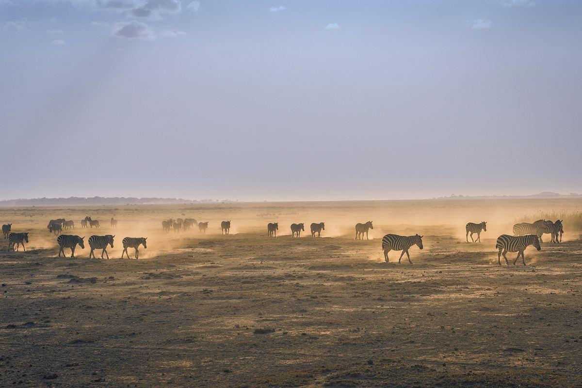 stock photos free  of herd of zebra on sand field