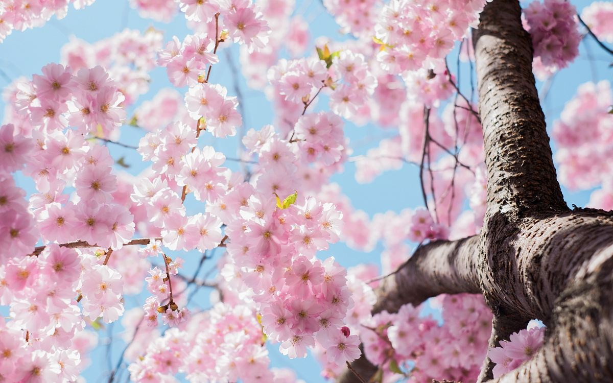 stock photos free  of low angle photo of cherry blossoms tree