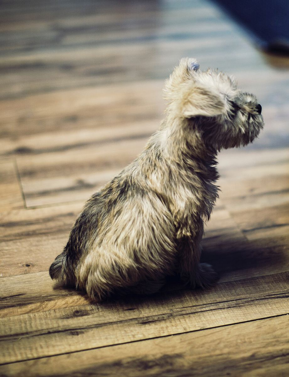 stock photos free  of photo of long-coated tan puppy