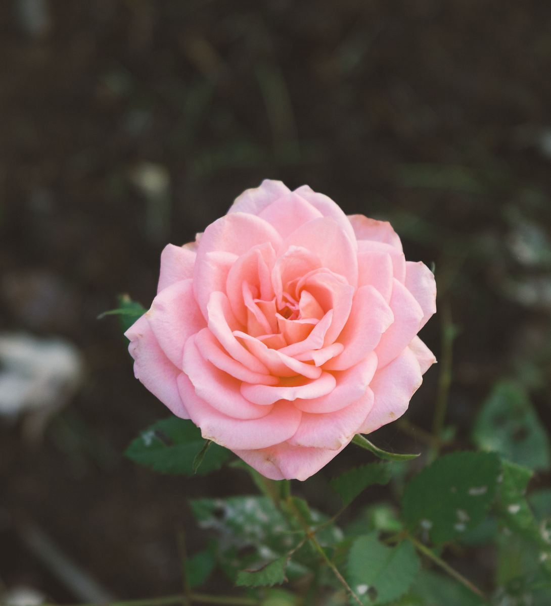 stock photos free  of pink carnation flower
