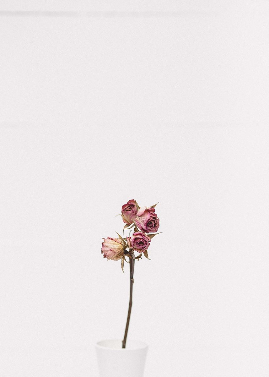 stock photos free  of pink rose flower