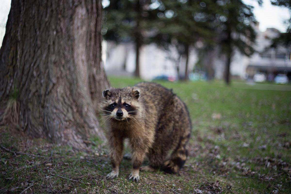 stock photos free  of raccoon under the tree